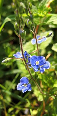 Blume blau
